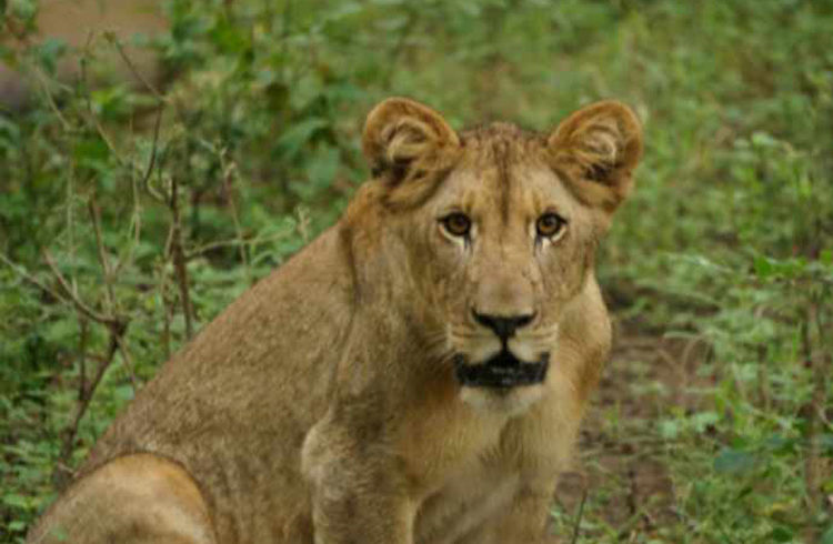majete wildlife reserve lions lioness-malawi-experiences-malawian-style-holidays-specialist-tour-operator-zambia-mozambique-africa