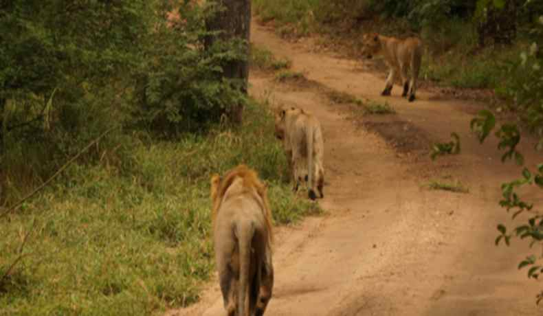 majete wildlife reserve lions-malawi-experiences-malawian-style-holidays-specialist-tour-operator-zambia-mozambique-africa-lion-stroll