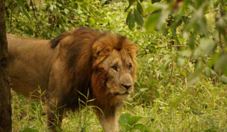 majete wildlife reserve lions malawi-experiences-malawian-style-holidays-specialist-tour-operator-zambia-mozambique-africa-lion
