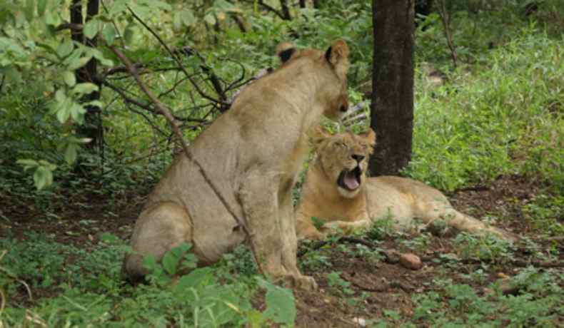 majete wildlife reserve lions malawi-experiences-malawian-style-holidays-specialist-tour-operator-zambia-mozambique-africa-lioness-yawn