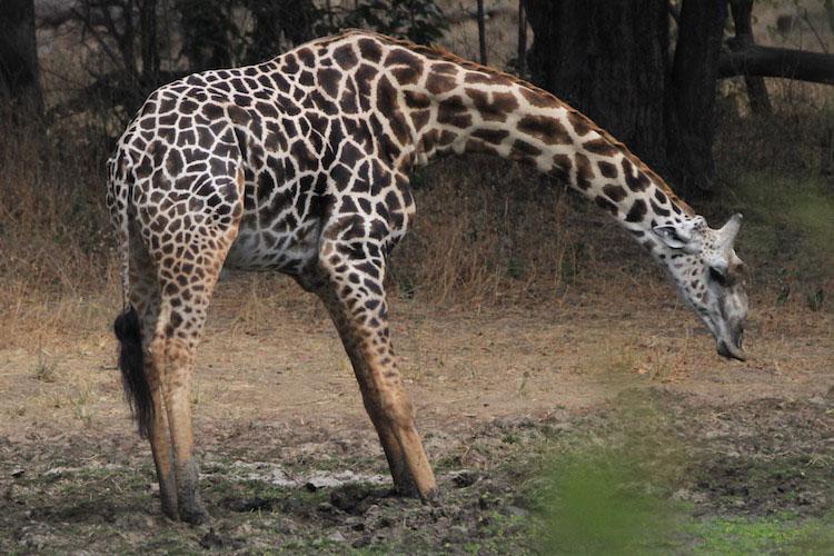 travel-report-south-luangwa-august-blog-malawian-style-giraffe