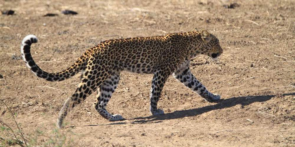 travel-report-south-luangwa-august-blog-malawian-style-leopard-south-luangwa