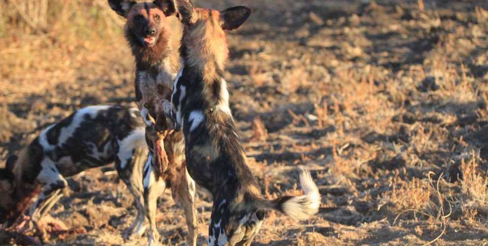 travel-report-south-luangwa-august-blog-malawian-style-wild-dogs-south-luangwa
