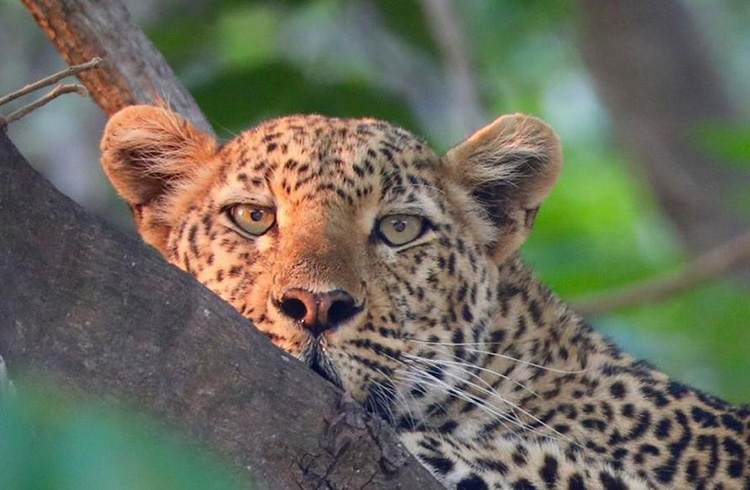 travel report zambia november-travel-blog-malawian-style-malawi-adventures-experiences-holidays-specialist-tour-operator-leopard