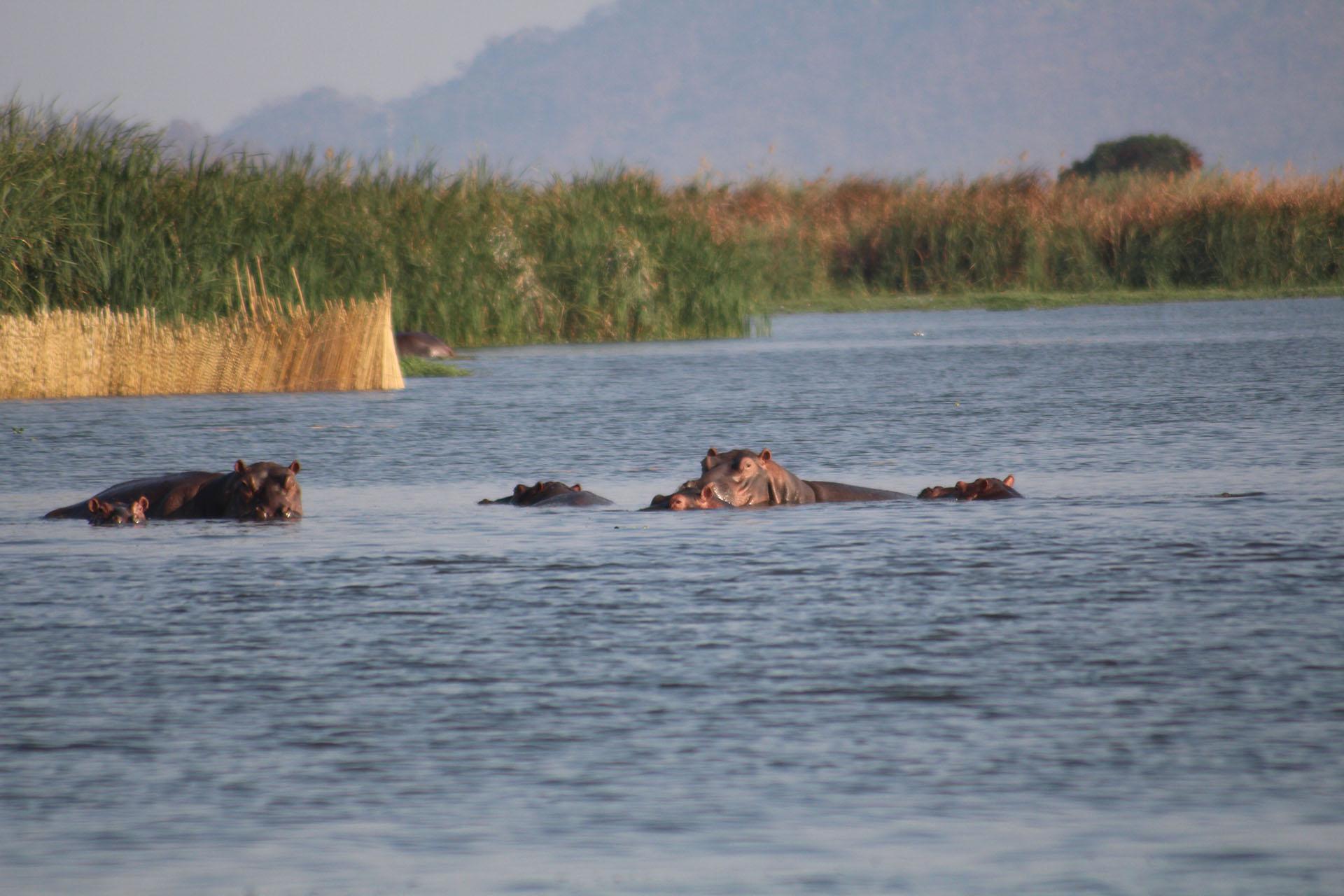 bush beach safaris off-season-safari-malawian-style-malawi-adventures-experiences-specialist-tour-operator-tours-kumbali-lake-retreat-hippos