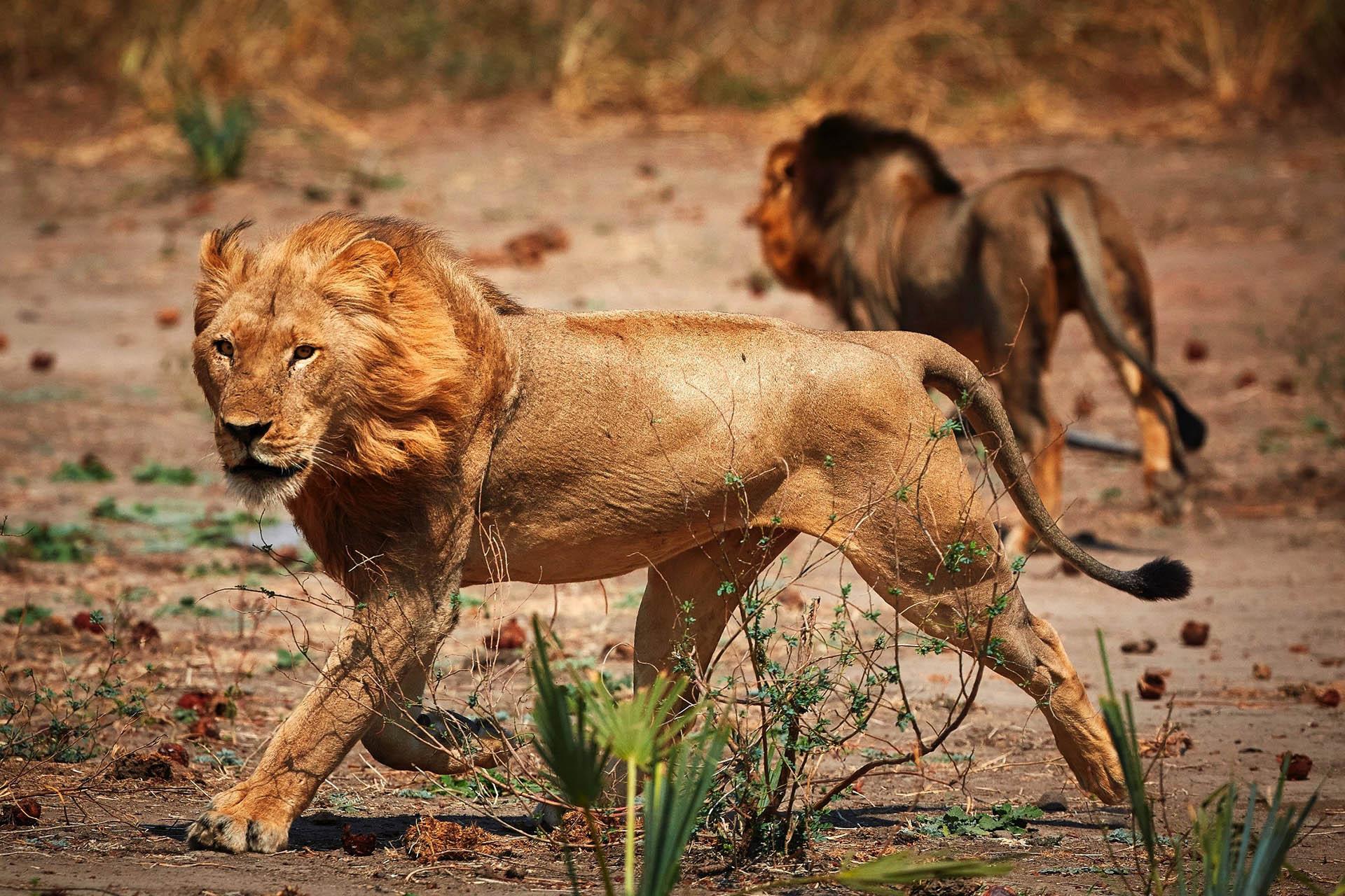 bush beach safaris wet-wild-south-luangwa-lower-zambezi-lake-malawi-11-nights-lower-zambezi-national-park-tours-malawian-style-malawi-adventures-lions-chongwe-safaris