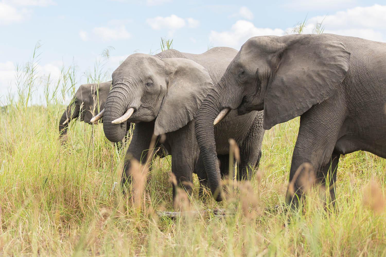 liwonde national park malawian-style-malawi-adventures-experiences-holidays-specialist-tour-operator-malawi-national-parks-reserves-elephants