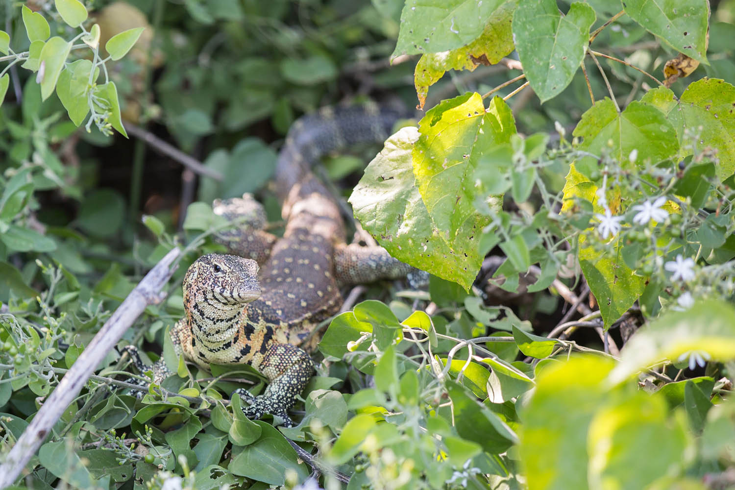 liwonde national park malawian-style-malawi-adventures-experiences-holidays-specialist-tour-operator-malawi-national-parks-reserves-monitor-lizard