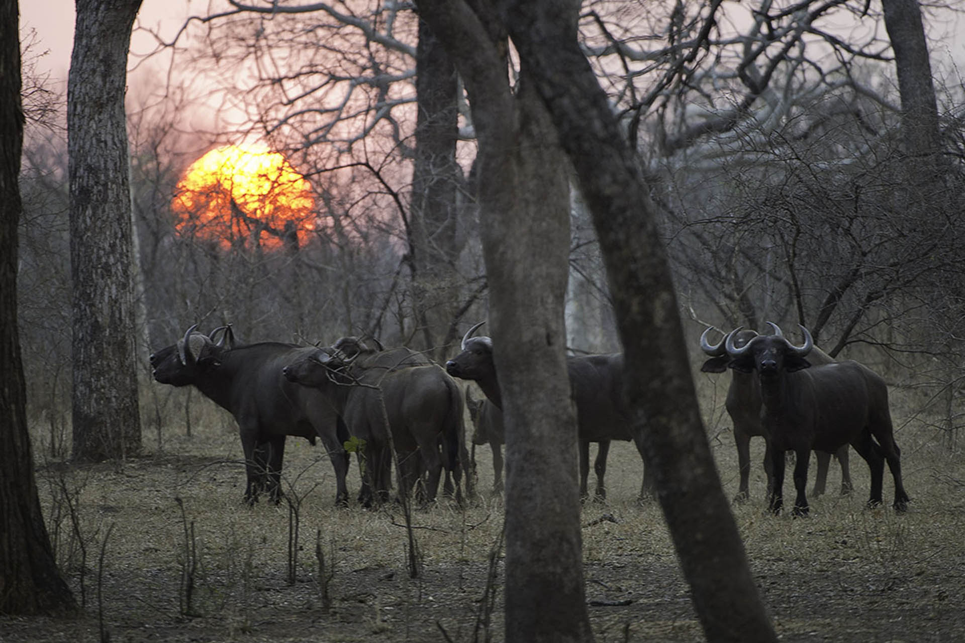 majete wildlife reserve malawi-national-parks-reserves-malawian-style-malawi-adventures-experiences-specialist-tour-operator-buffalos-majete-wildlife-reserve