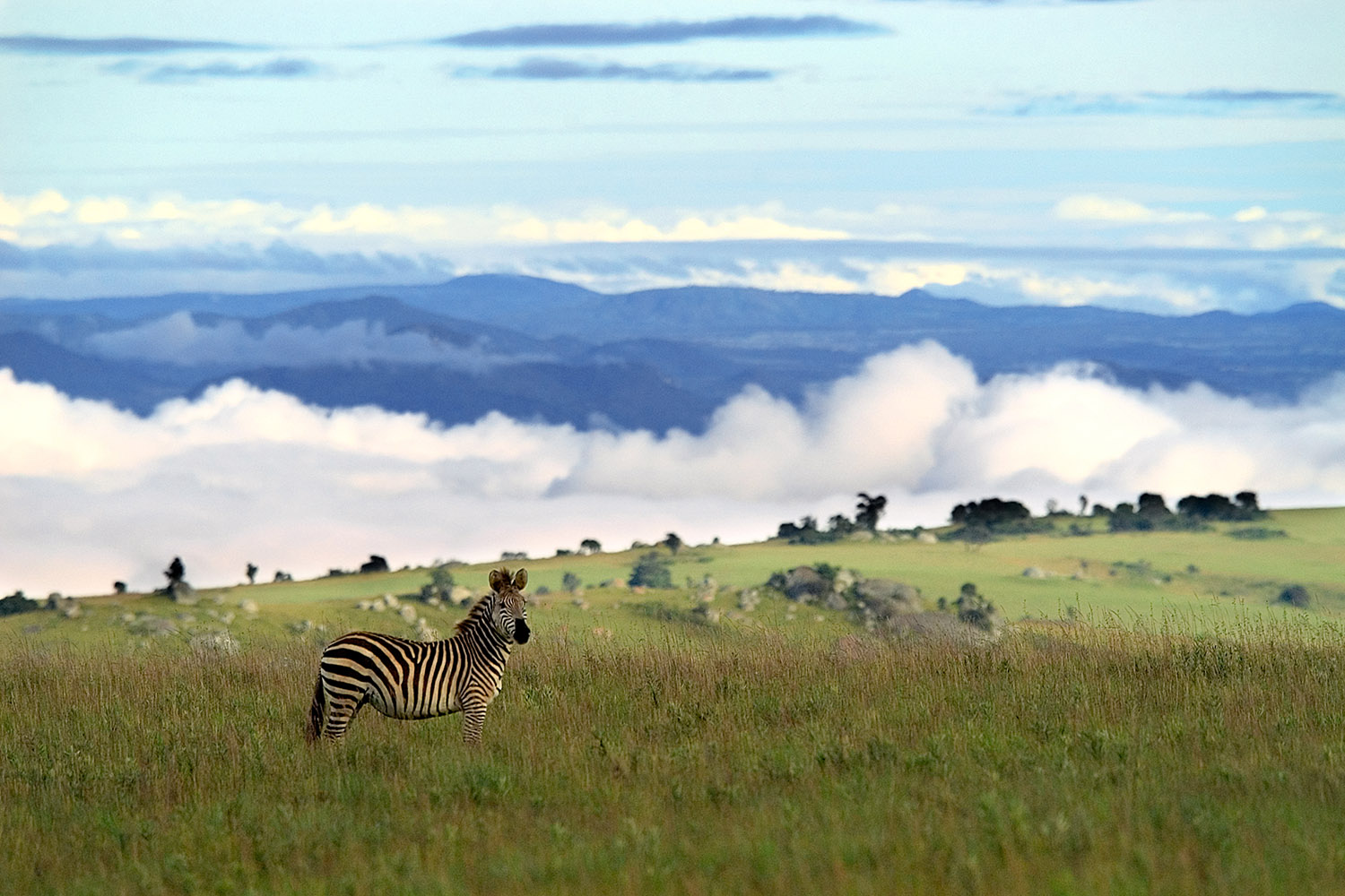 northern-adventurer-11-nights-active-holidays-tours-malawian-style-malawi-adventures-experiences-specialist-tour-operator-hiking-trail-nyika-national-park-zebra