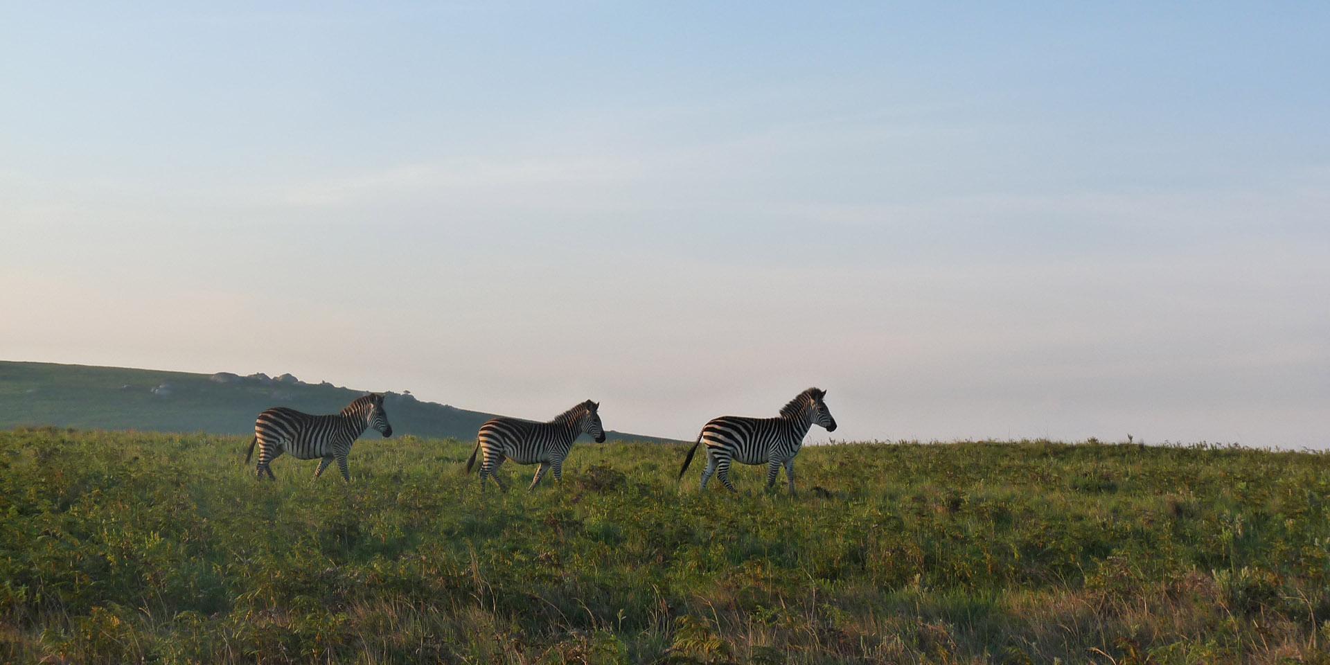 nyika national park malawian-style-malawi-adventures-experiences-holidays-specialist-tour-operator-malawi-national-parks-reserves-zebra