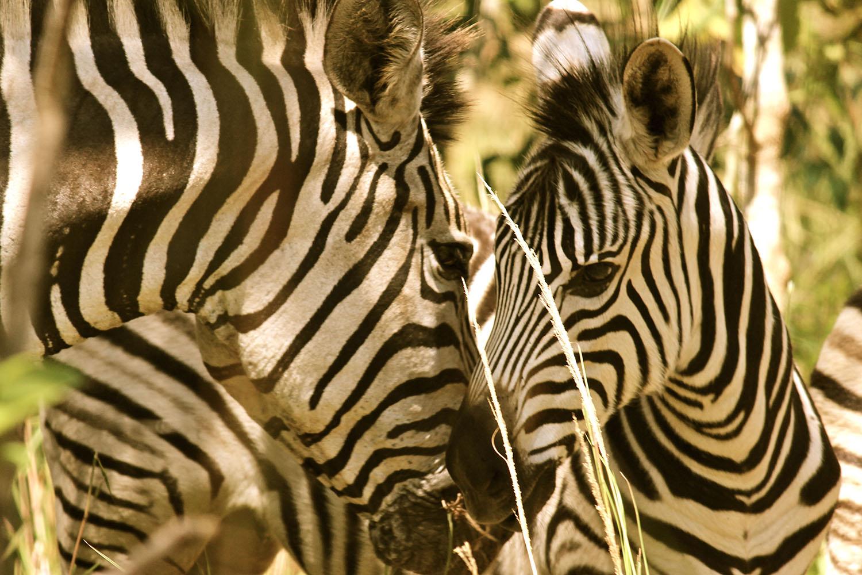 satemwa tea estate tours thyolo-malawian-style-malawi-adventures-experiences-specialist-tour-operator-zebras
