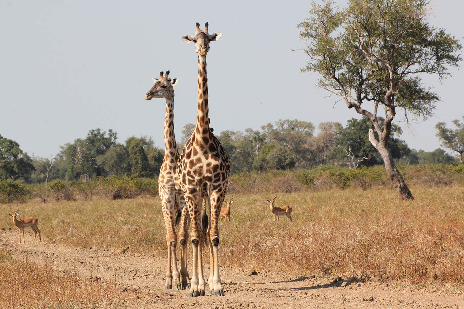 south luangwa national park zambia-national-parks-malawian-style-malawi-adventures-experiences-specialist-tour-operator-wildlife-giraffe