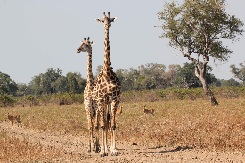 south luangwa national park zambia-national-parks-malawian-style-malawi-adventures-experiences-specialist-tour-operator-wildlife-giraffe