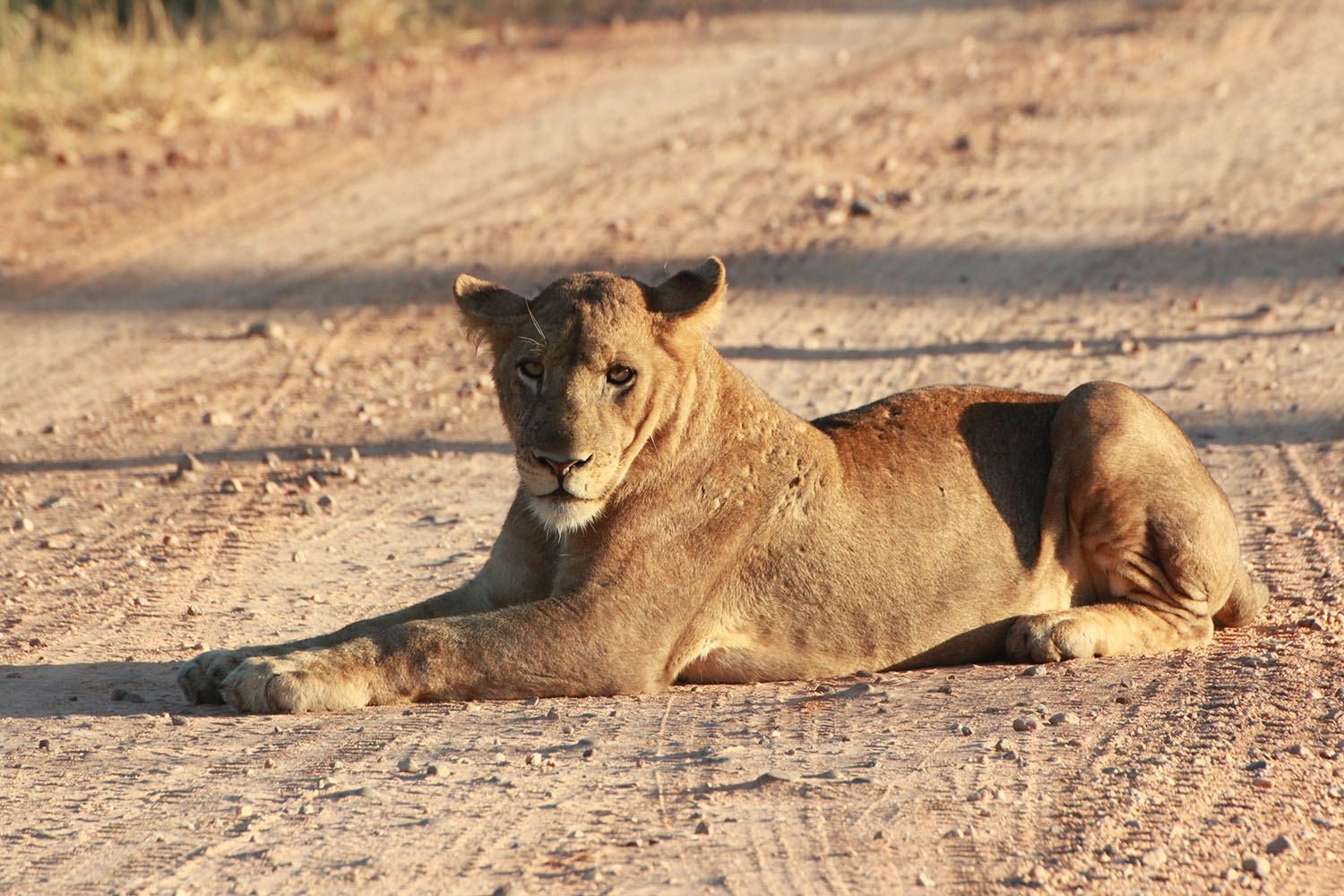 south luangwa national park zambia-national-parks-malawian-style-malawi-adventures-experiences-specialist-tour-operator-wildlife-lions