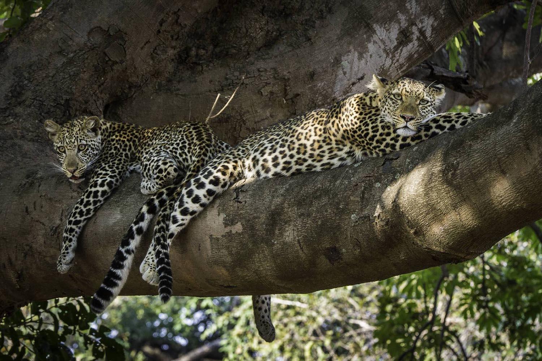 womens-trip-karen-loftus-tours-safaris-malawian-style-malawi-adventures-experiences-holidays-specialist-tour-operator-nkwali-camp-south-luangwa-leopards-in-tree