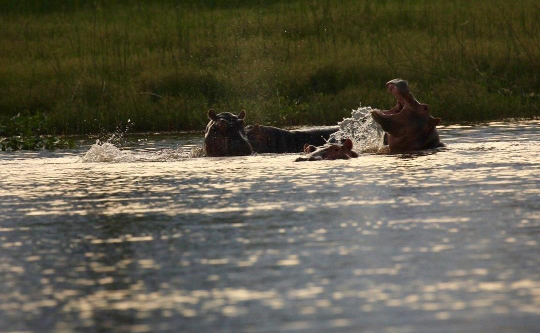 hippos-in-the-Shire-River