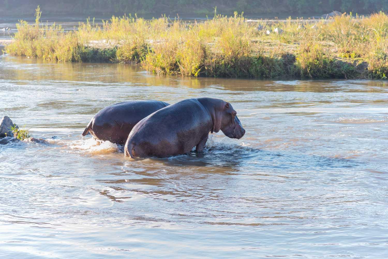 Thawale, hippo