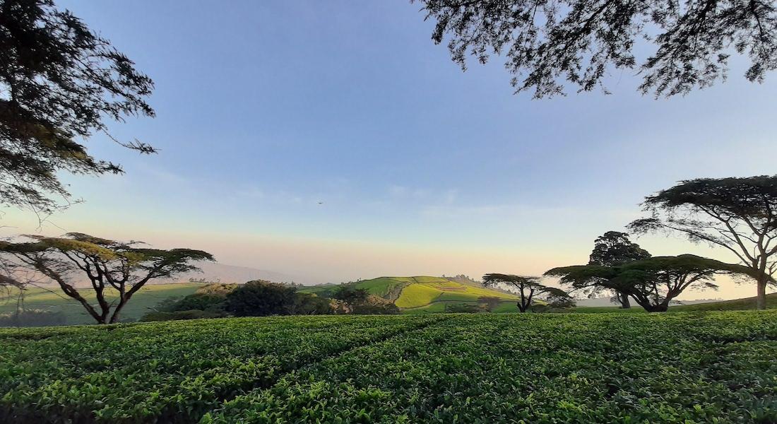 huntingdon tea plantation