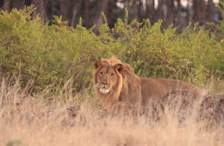 Nyika Lion - credit CAWS