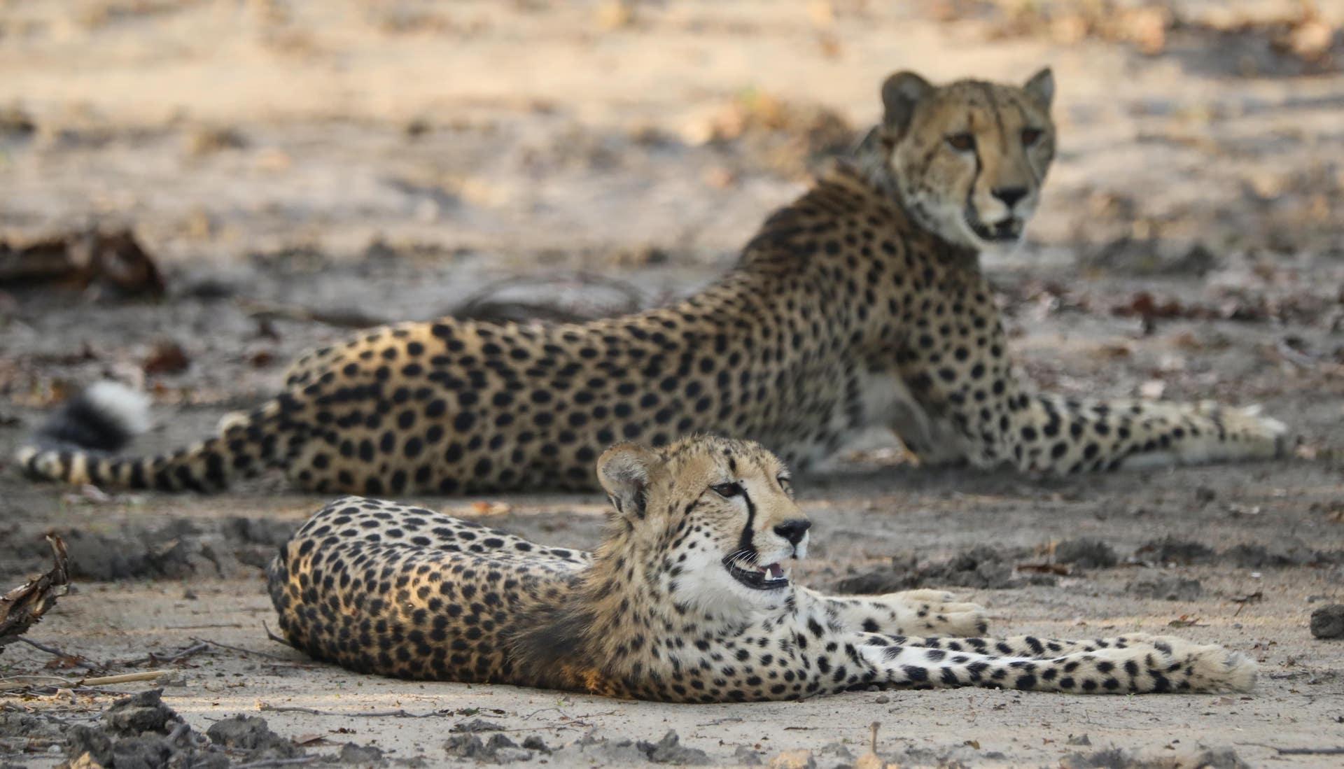 cheetah in liwonde