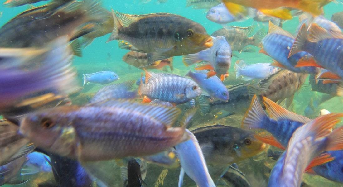 cichlids lake malawi