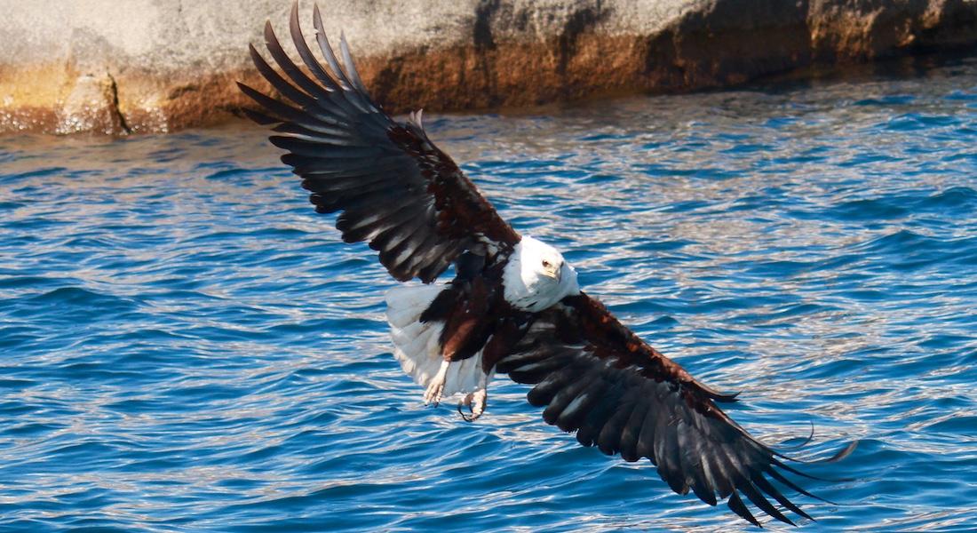African fish eagle hunting, Lake Malawi