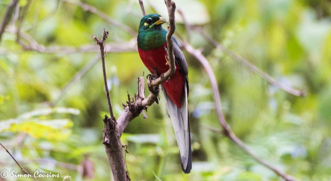 Narina Trogon, on a branch Malawi