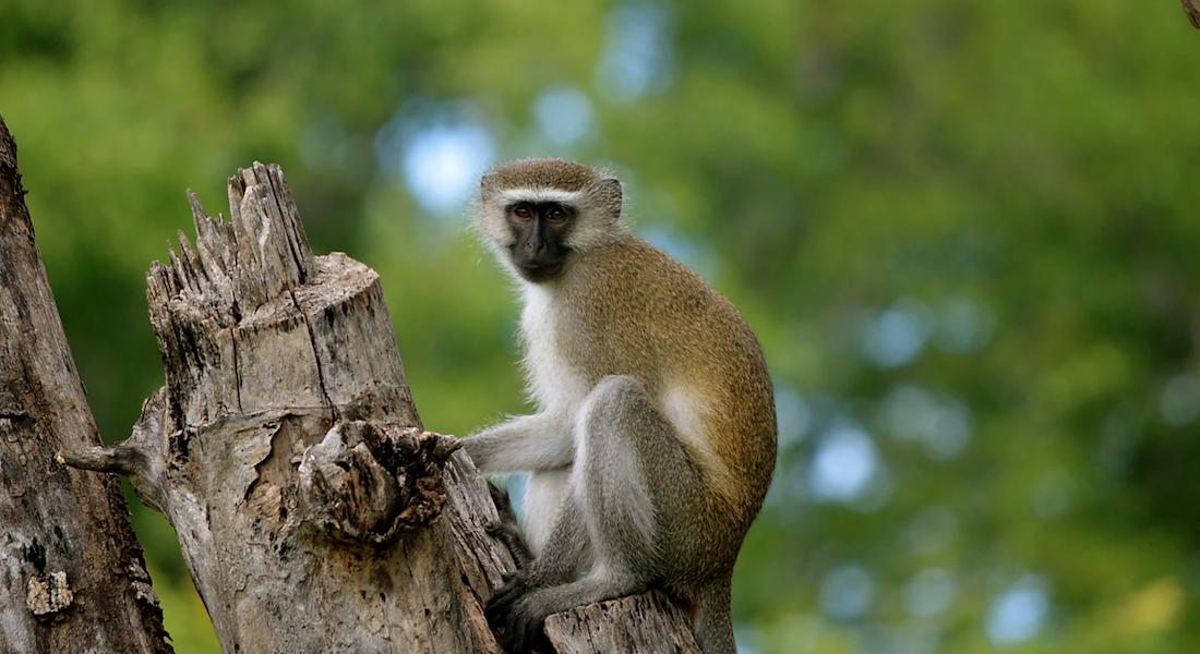 monkey kuti