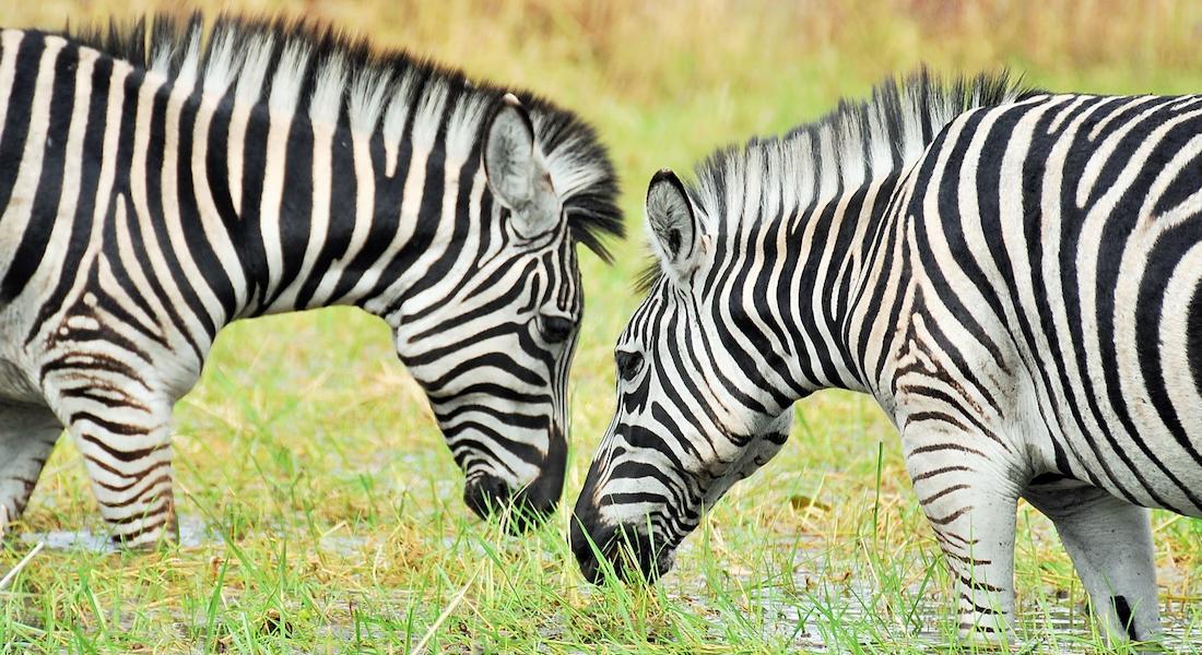 zebra kuti