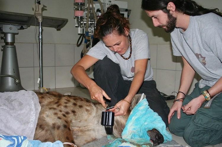 hyeana collaring