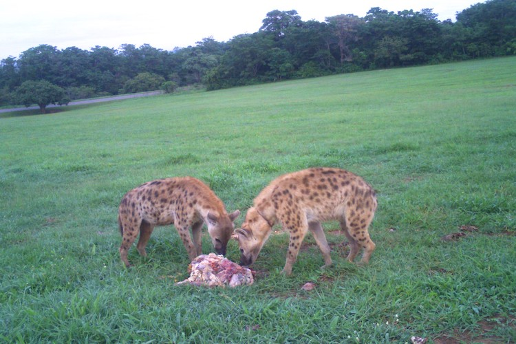 hyeana eating