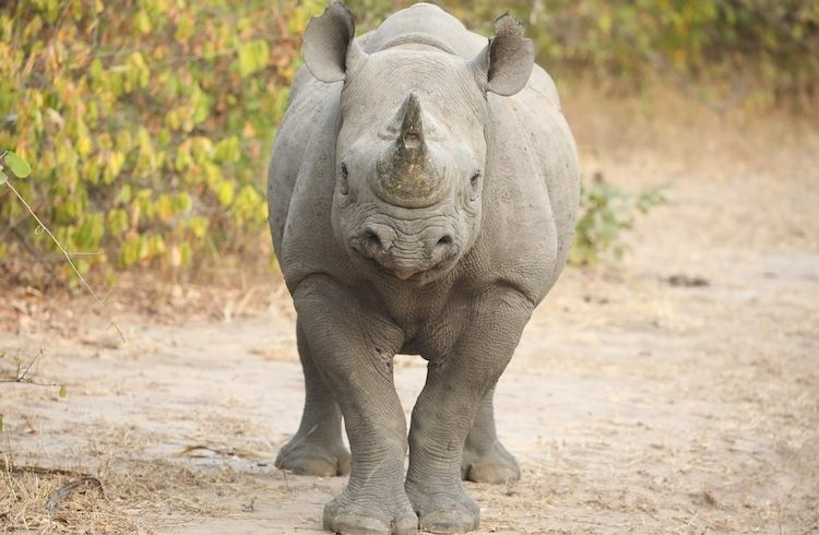 rhino liwonde