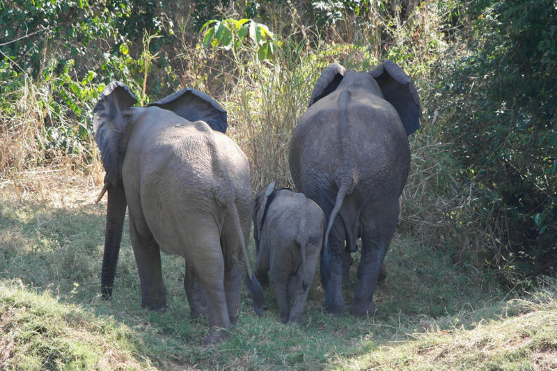 rafiki safari camp - malawi-lodges-malawian-style-nkhotakota-wildlife-reserve-elephant-sanctuary-walk-with-the-ellies